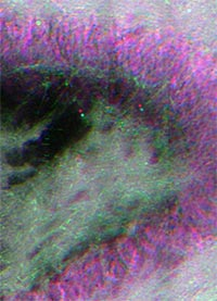 Stimulated Raman scattering (SRS) image(s) of 'viable' rat DG, ~150um thick