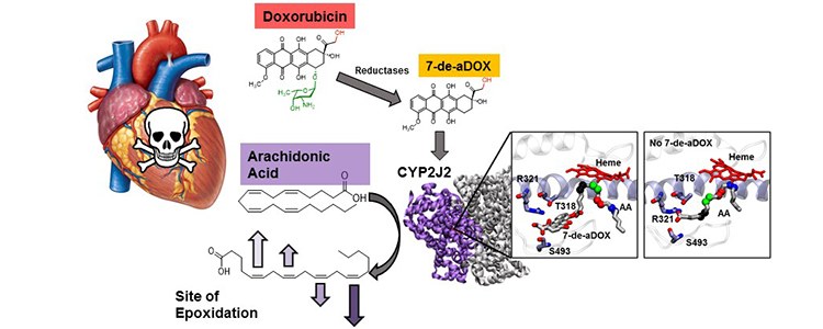 Summary of the effects of doxorubicin (DOX) and its metabolite on arachidonic acid metabolism by CYP2J2. CYP2J2 converts arachidonic acid into cardioprotective lipid mediators. Experimental and molecular dynamics (MD) simulations reveal that DOX inhibits CYP2J2. DOX is also converted to a metabolite that binds to the active site of CYP2J2 along with arachidonic acid. This changes the preferred site of arachidonic acid metabolism leading to the formation of less cardioprotective lipid mediators.