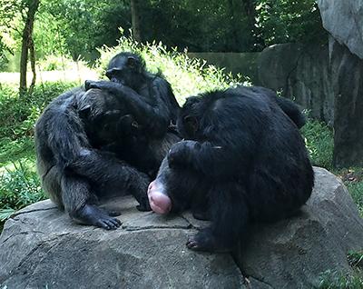 Chimps grooming.