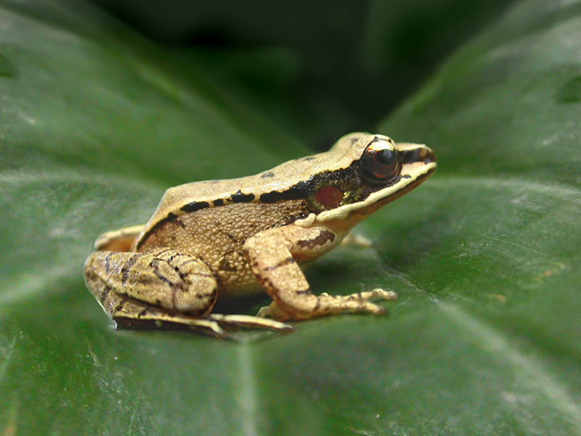Odorrana tormota, one of only two frog species known to have a concave ear. Albert Feng found this frog can emit a high-pitched chirp that to the human ear sounds like that of a bird.