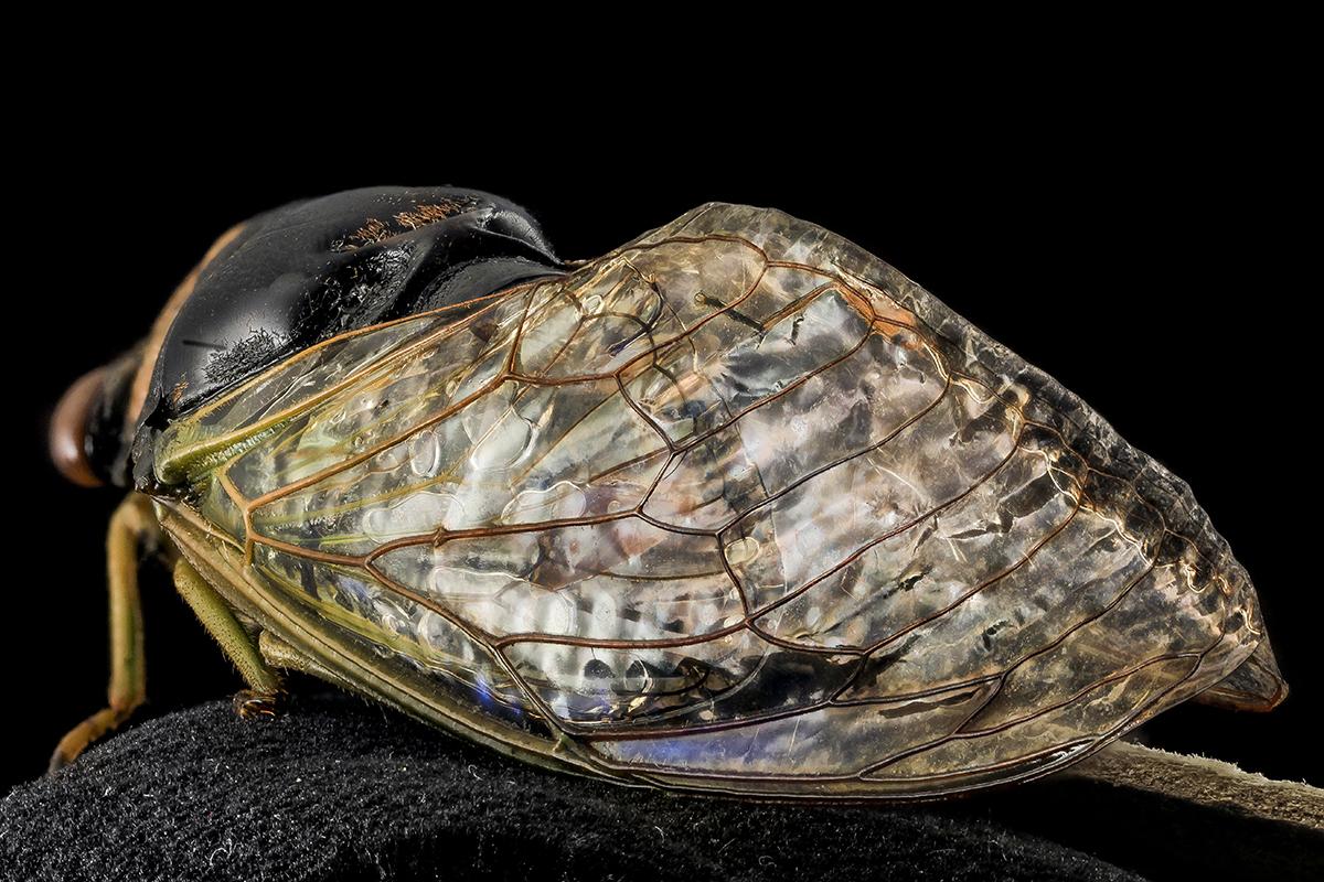 cicada-web