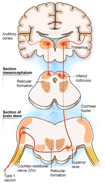This image gives a schematic representation of where the auditory cortex and thalamus are present in the brain.